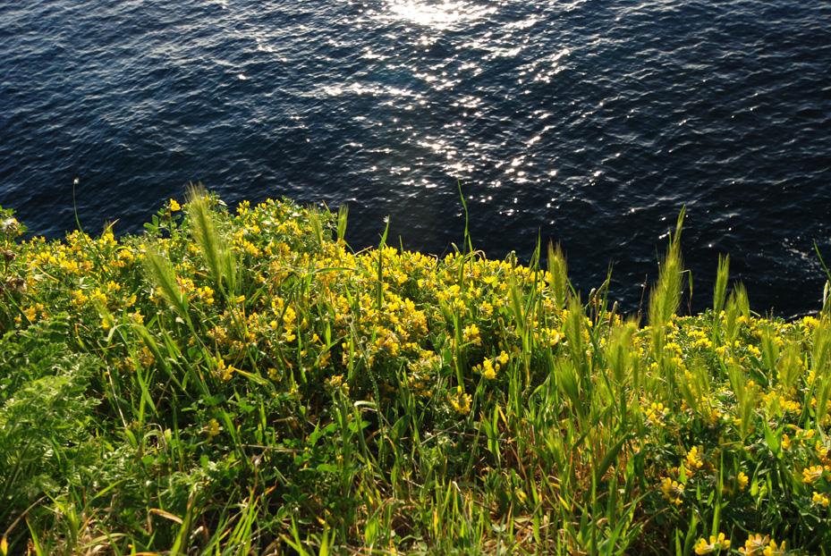 Fiori Gialli Isola Delba.Benvenuti Nella Home Page Dell Isola Di Capraia